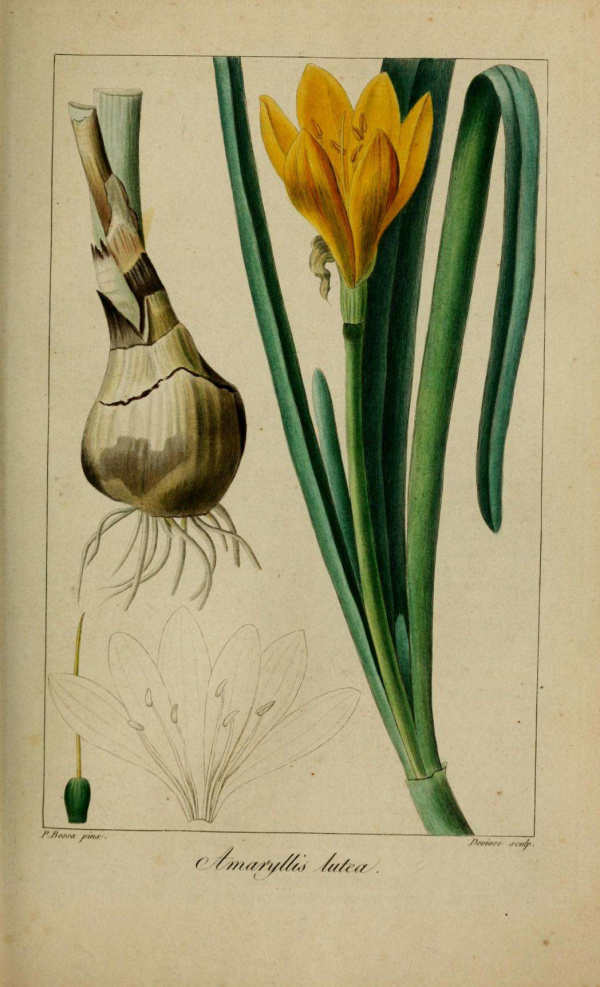 Plantes et fleurs amaryllis jaune amaryllis lutea for Amaryllis jaune