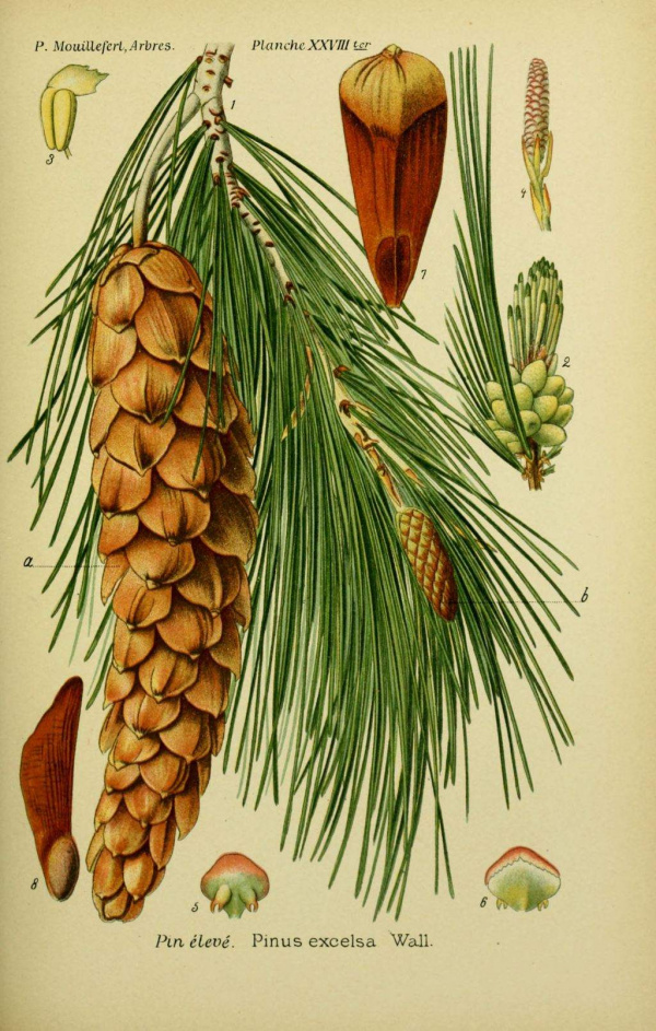 Pin eleve - Pinus excelsa