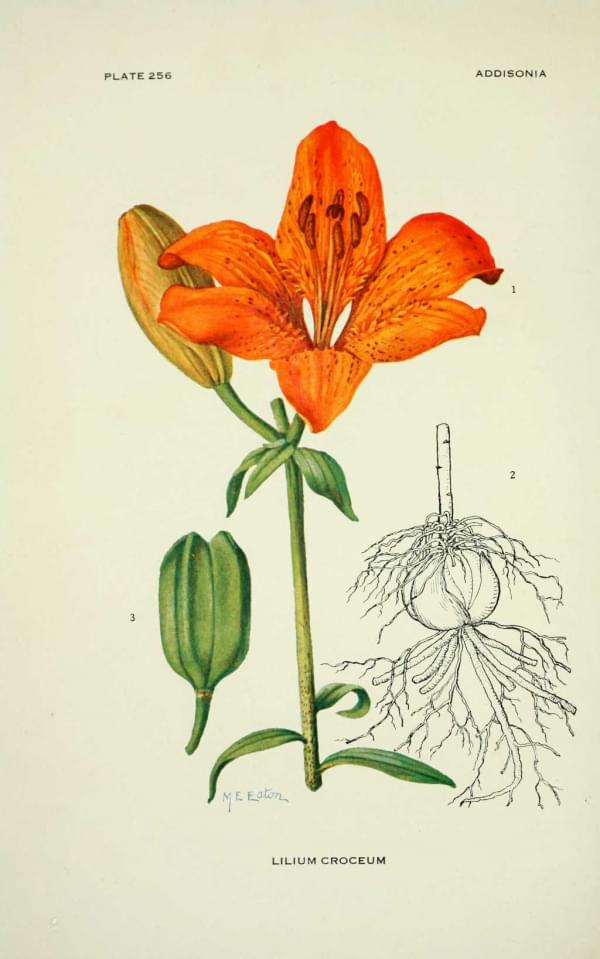 Lilium croceum (bulbiferum) - Lis orange ou faux-safran