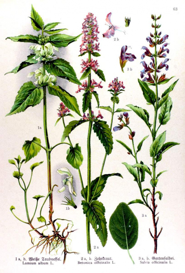 Lamium album - Betonica officinalis - Salvia officinalis