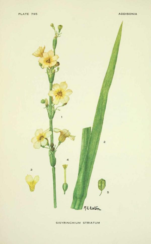 Sisyrinchium striatum - Bermudienne