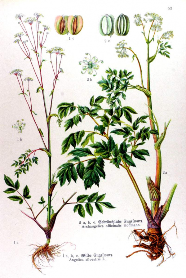 Angelica silvestris - Archangelica officinalis