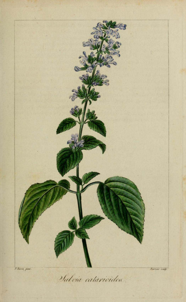 Sauge chataire - Salvia catarioides