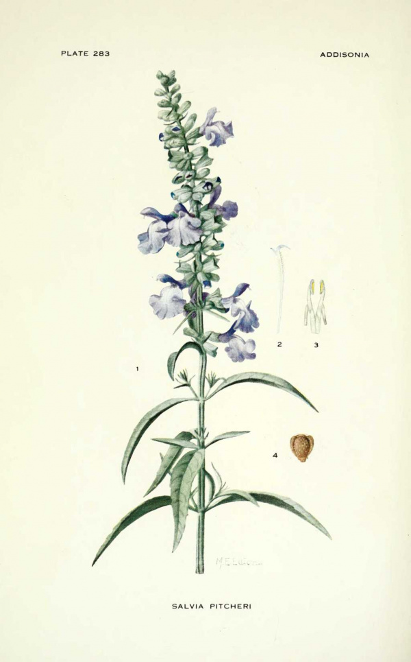 Salvia pitcheri (azurea) - Sauge des prairies