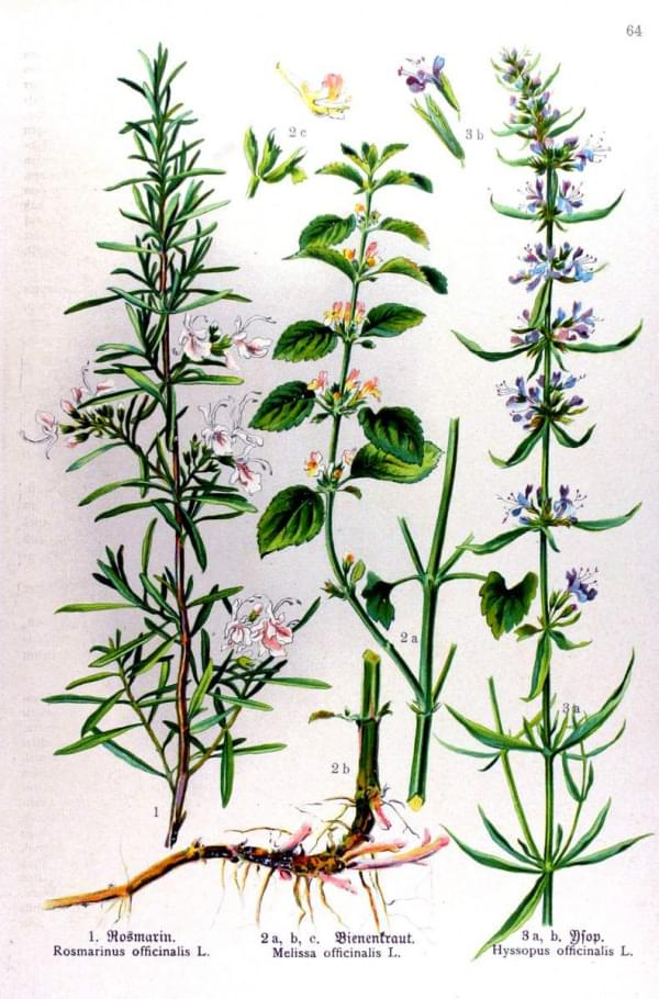 Rosmarinus officinalis - Melissa officinalis - Hyssopus officinalis