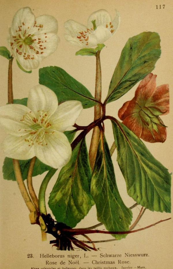 Plantes et fleurs rose de noel helleborus niger for Plante rose de noel