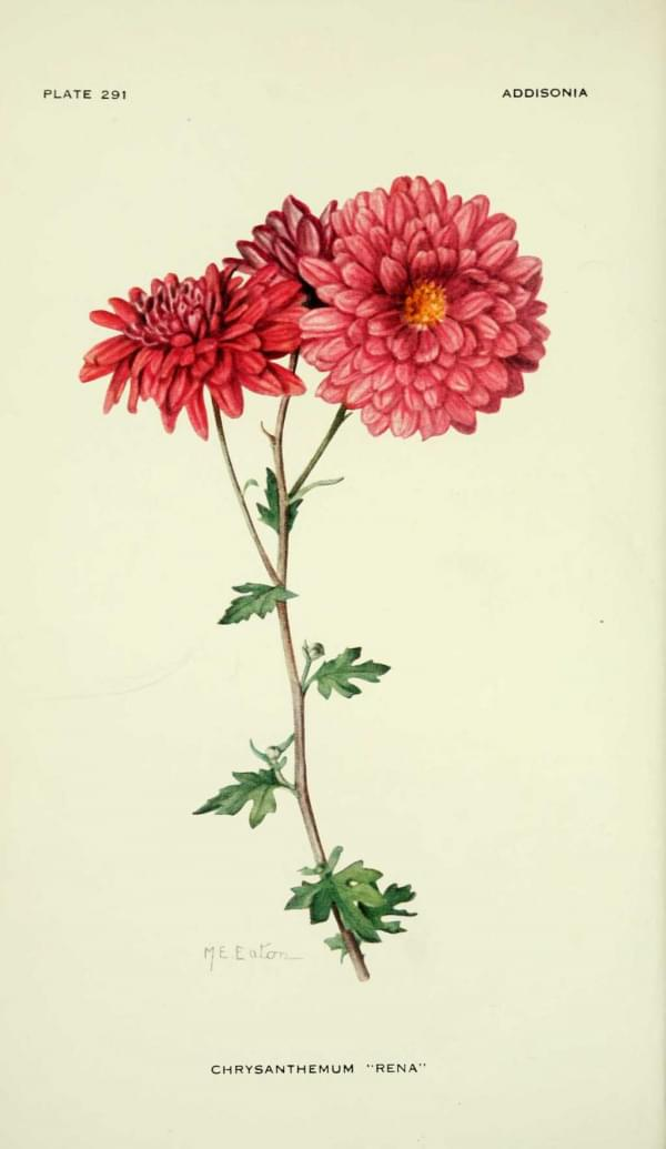 Chrysanthème - Chrysanthemeum 'rena'