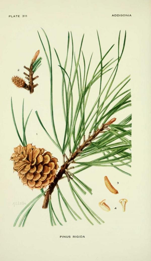 Pinus rigida (pin)