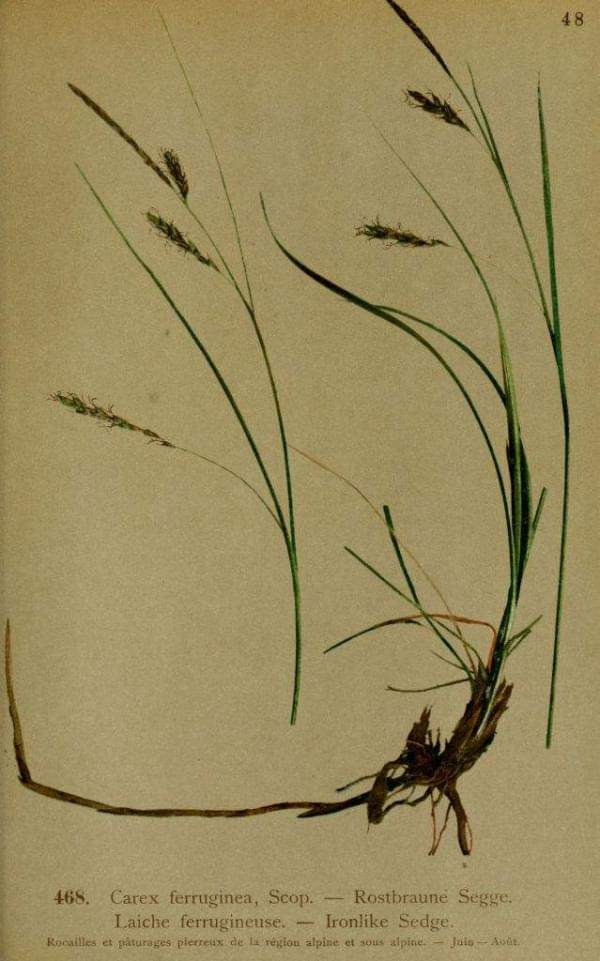 Carex ferruginea - Laiche ferrugineuse