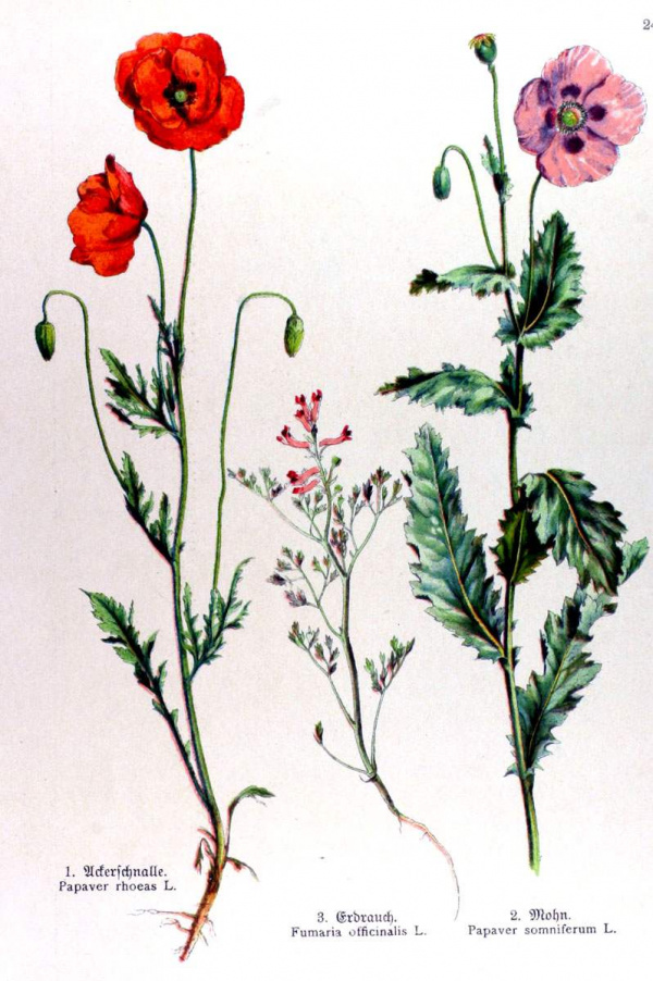 Papaver rhoeas - Fumaria officinalis - Papaver somniferum