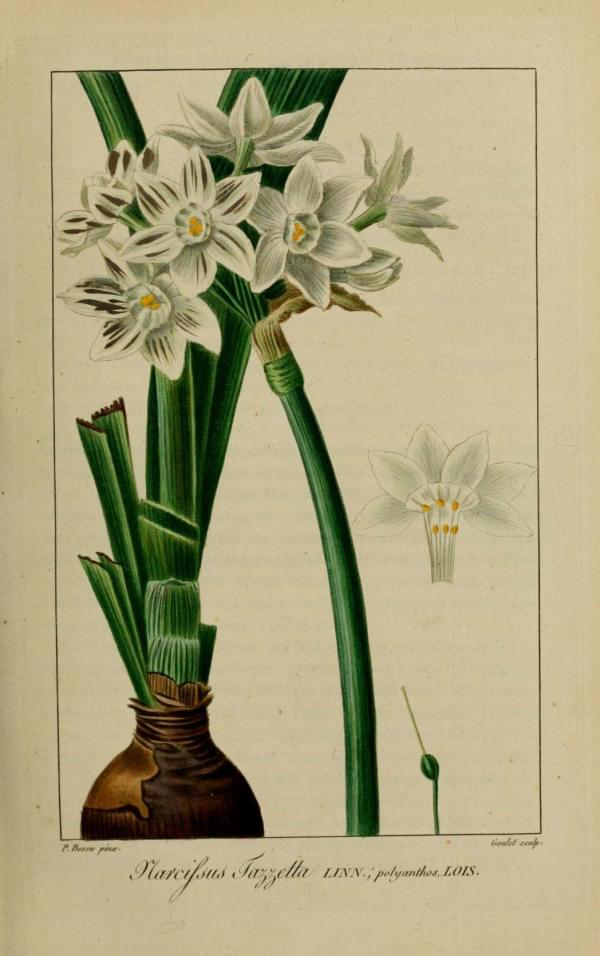 Narcisse multiflore - Narcissus tazzetta ou polyanthos