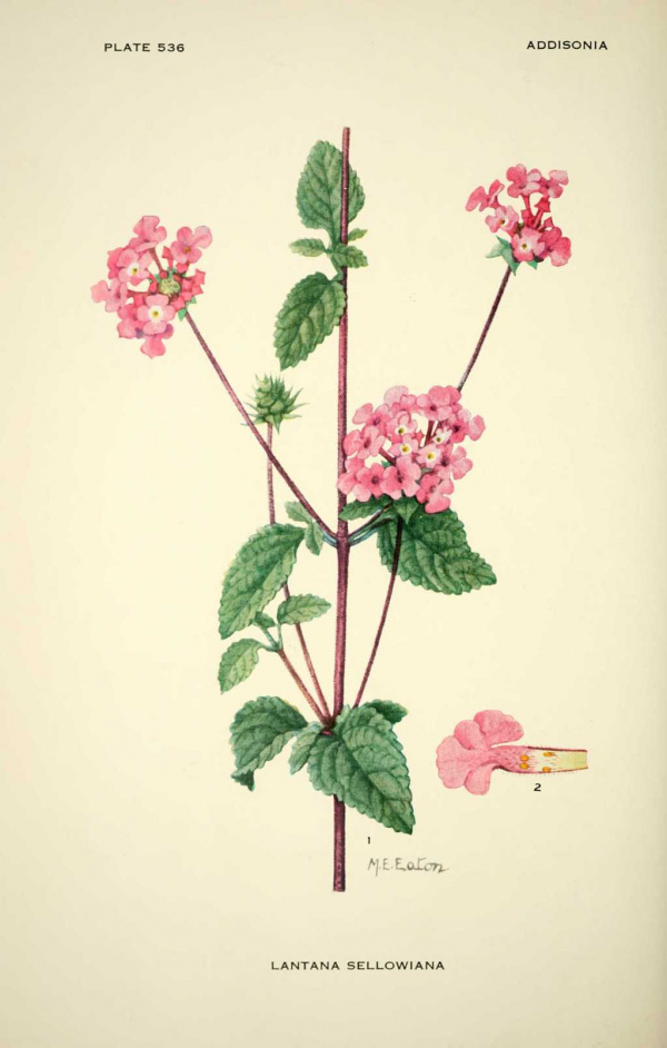 Lantana sellowiana - Lantanier de sellow