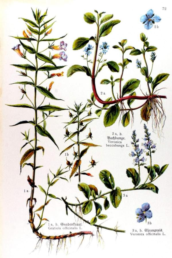 Gratiola officinalis - Veronica beccabunga - Veronica officinalis