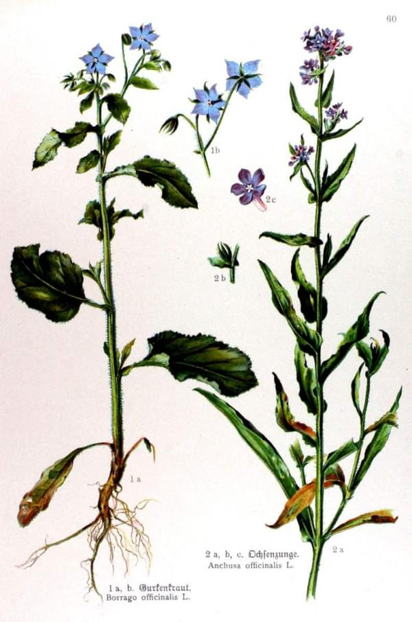 Borrago officinalis - Anchusa officinalis