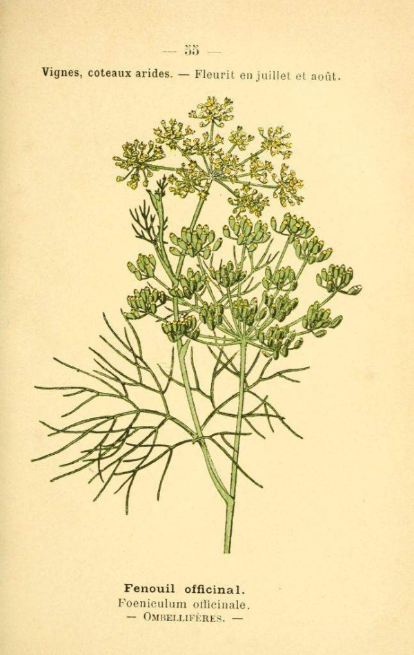 Fenouil officinal - Foeniculum officinale