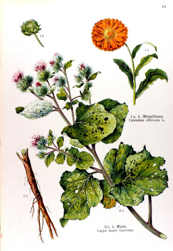Calendula officinalis - Lappa major