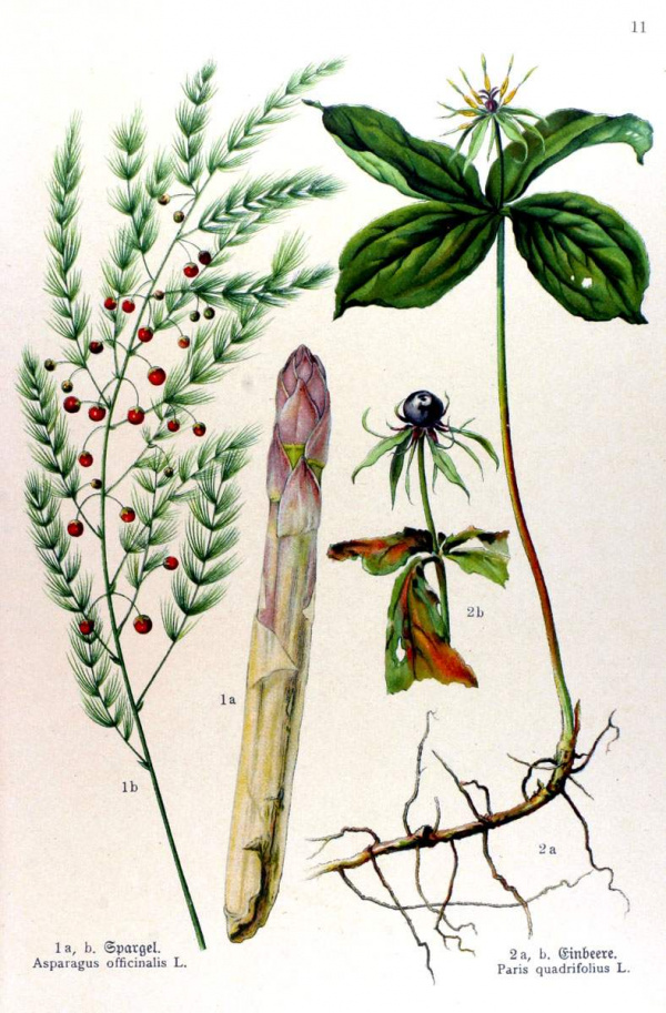 Asparagus officinalis - Paris quadrifolius