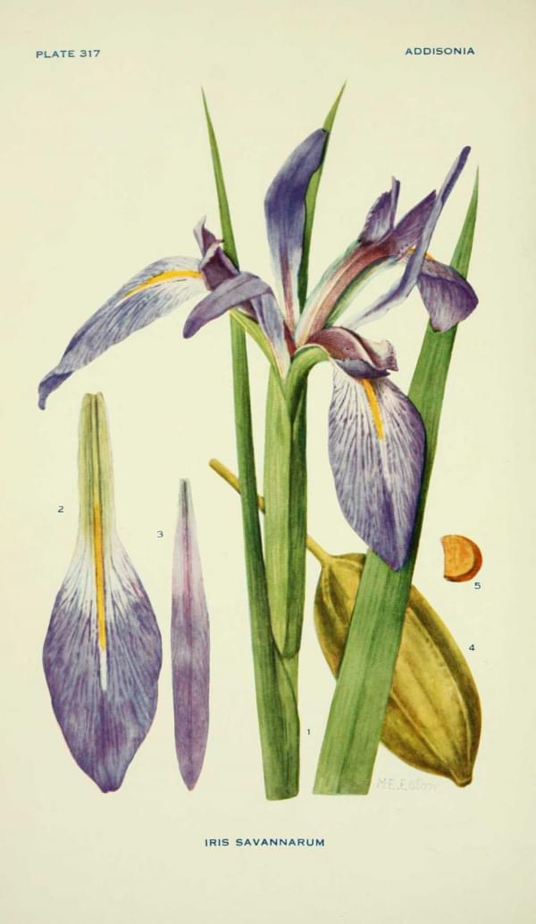 Iris savannarum